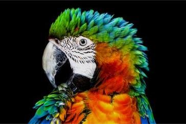 Detaliu al papagalului pe televizorul OLED convențional