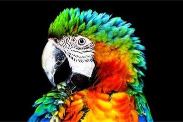Detaliu al papagalului pe televizorul OLED Sony cu Pixel Contrast Booster