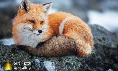 Imagine cu o vulpe, demonstrând claritatea 4K